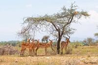 <p>Кения, Национальный парк - заповедник Самбуру. Импалы под деревом.</p>