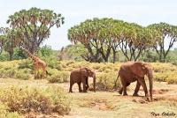 <p>Кения, Национальный парк - заповедник Самбуру. Пейзаж с жирафом и слонами.</p>