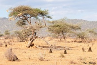 <p>Кения, Национальный парк - заповедник Самбуру. Пейзаж с бабуинами.</p>