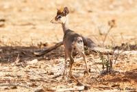 <p>Кения, Национальный парк - заповедник Самбуру. Антилопа Дик-Дик.</p>