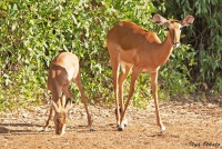 <p>Кения, Национальный парк - заповедник Самбуру. Импалы.</p>