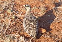 <p>Кения, Национальный парк - заповедник Самбуру. Куропатка.</p>
