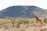 <p>Кения, Национальный парк - заповедник Самбуру. Сетчатый жираф.</p>