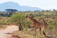 <p>Кения, Национальный парк - заповедник Самбуру. Пейзаж с жирафами.</p>