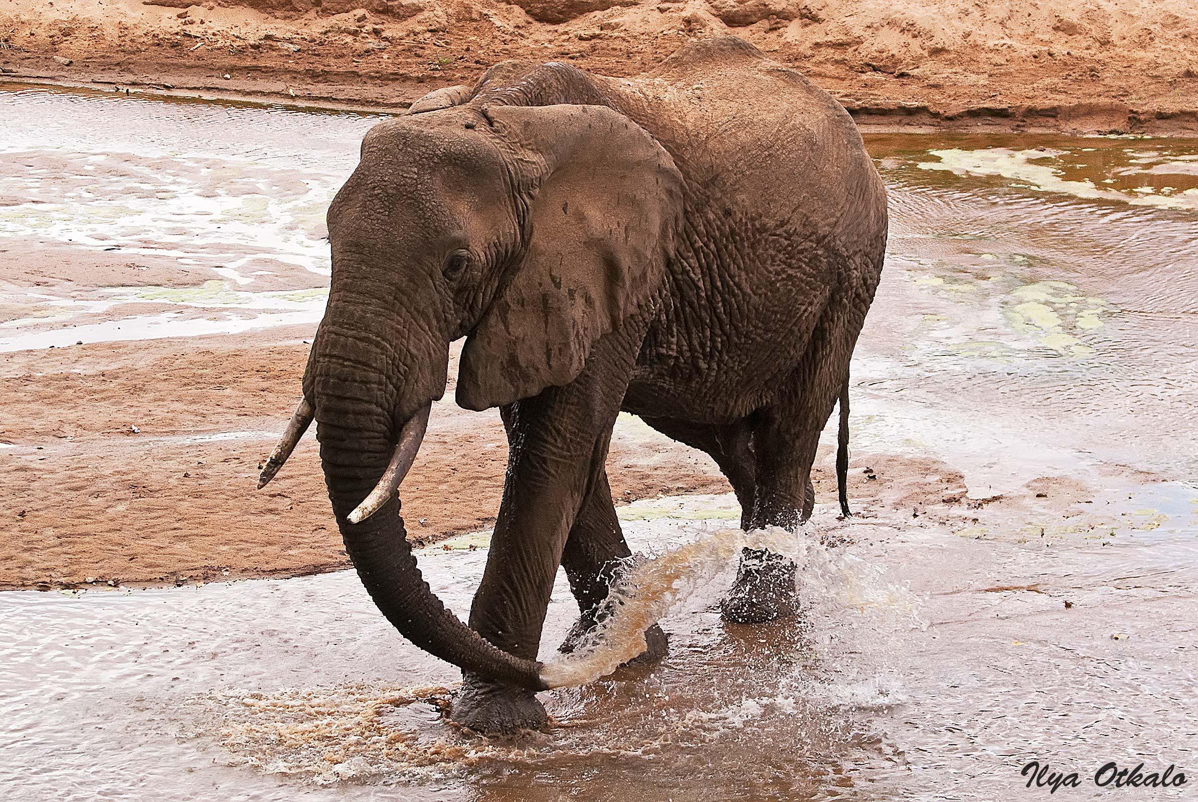 Кения, Национальный парк - заповедник Шаба. Слон.