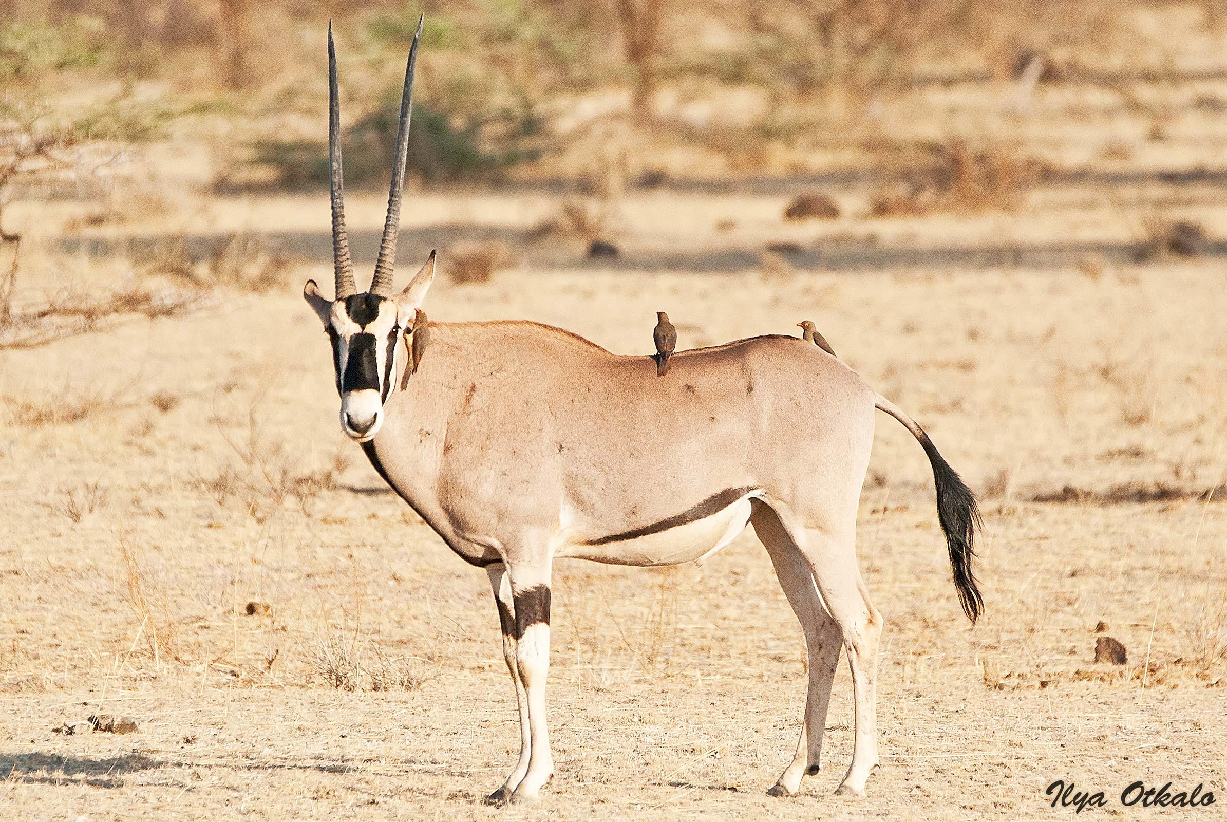 Кения, Национальный парк - заповедник Шаба. Орикс.