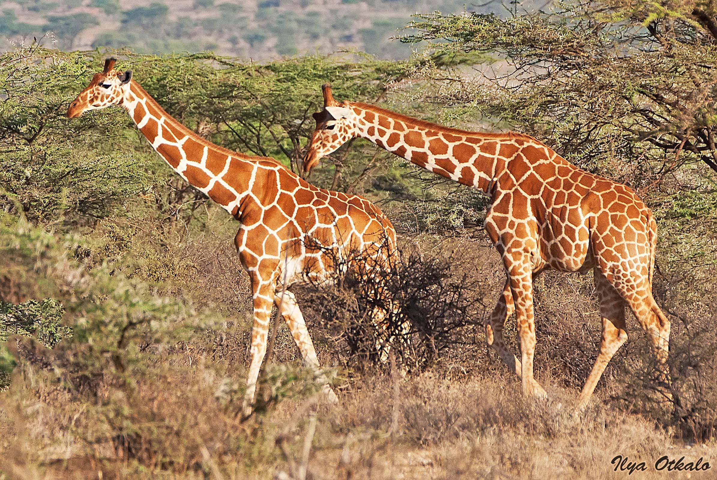 Кения, Национальный парк - заповедник Шаба. Сетчатые жирафы.