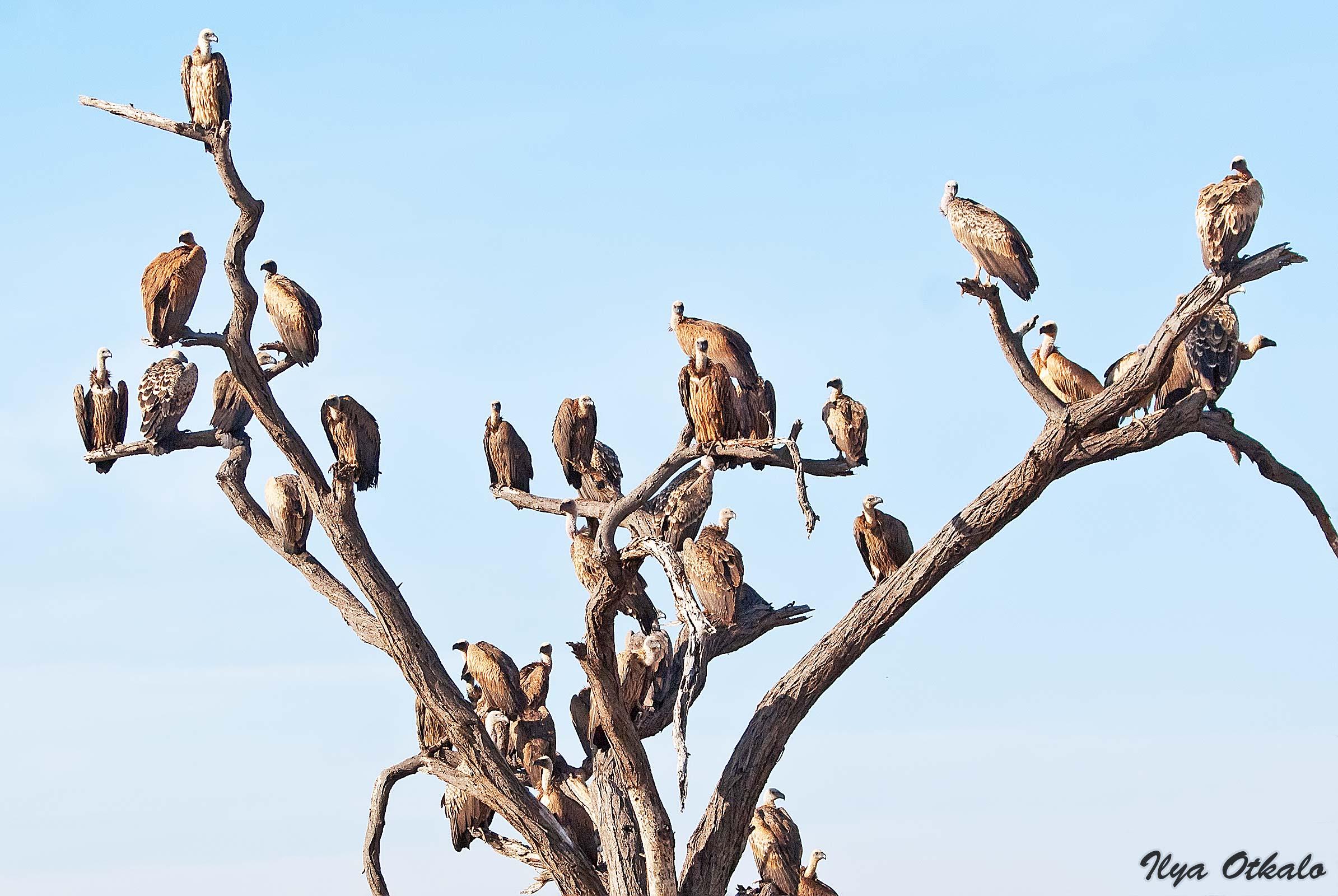 Кения, Национальный парк - заповедник Шаба. Грифы на дереве.