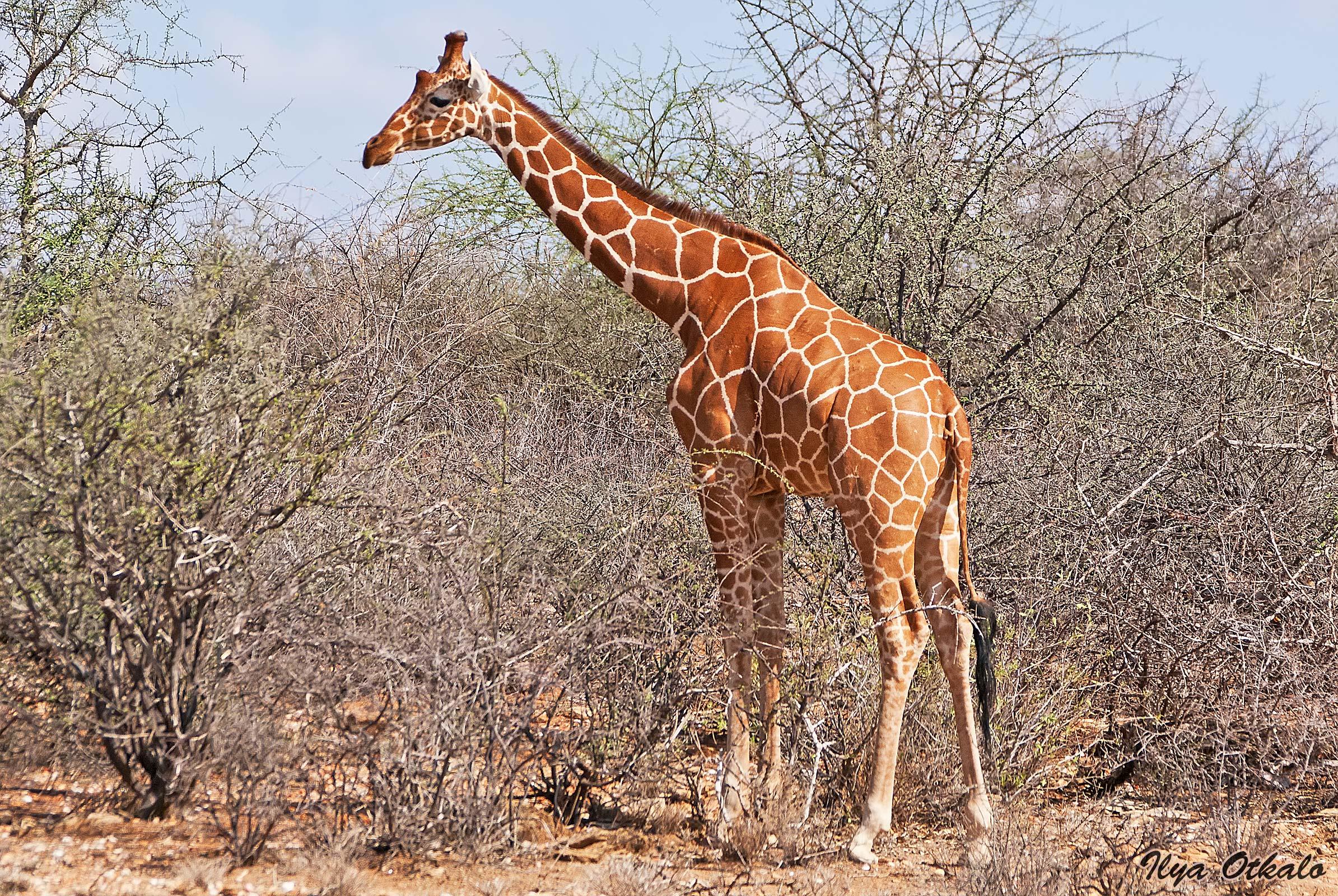 Сетчатый жираф. Большая пятерка