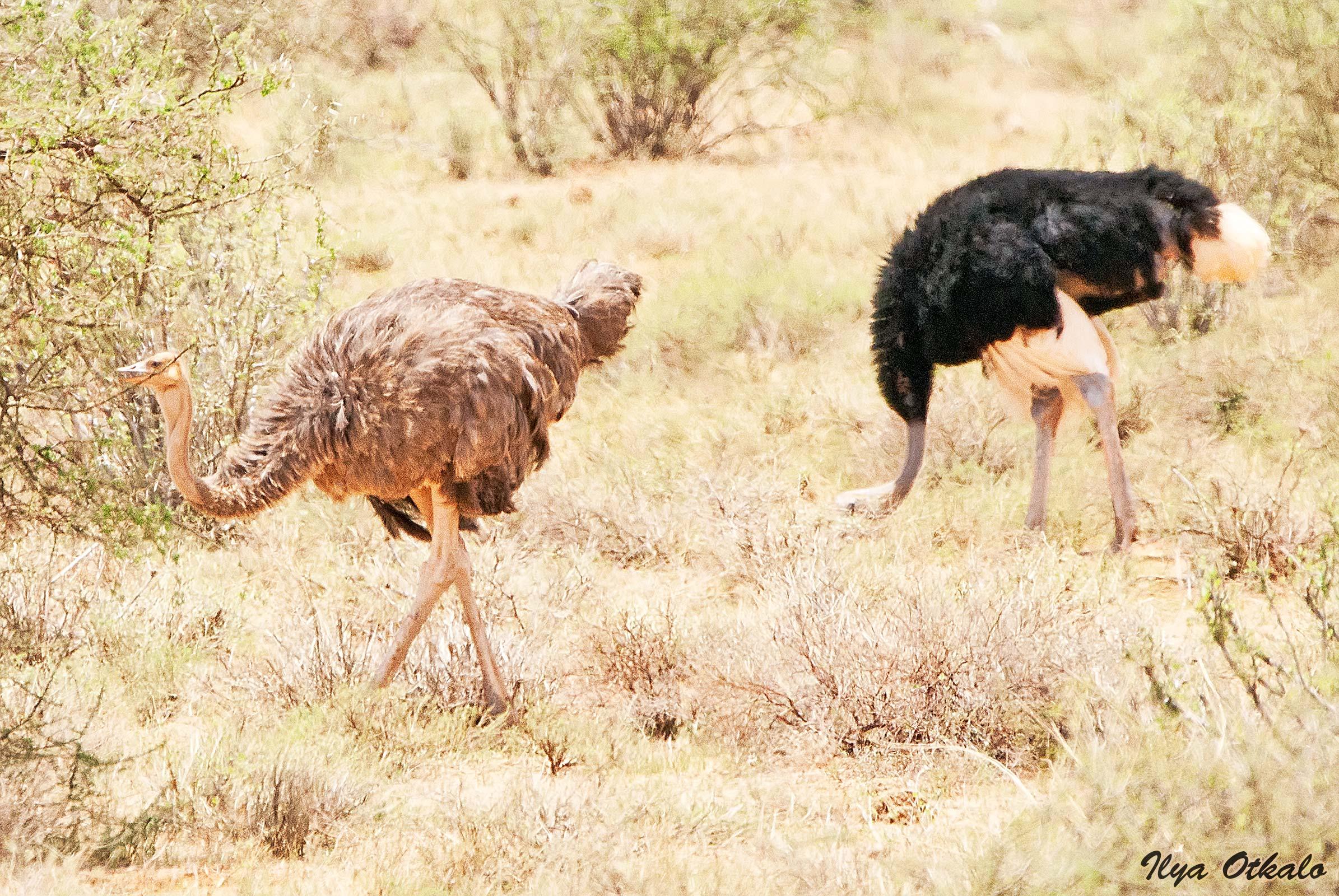 Кения, Национальный парк - заповедник Буффало Спрингс. Сомалийские страусы.