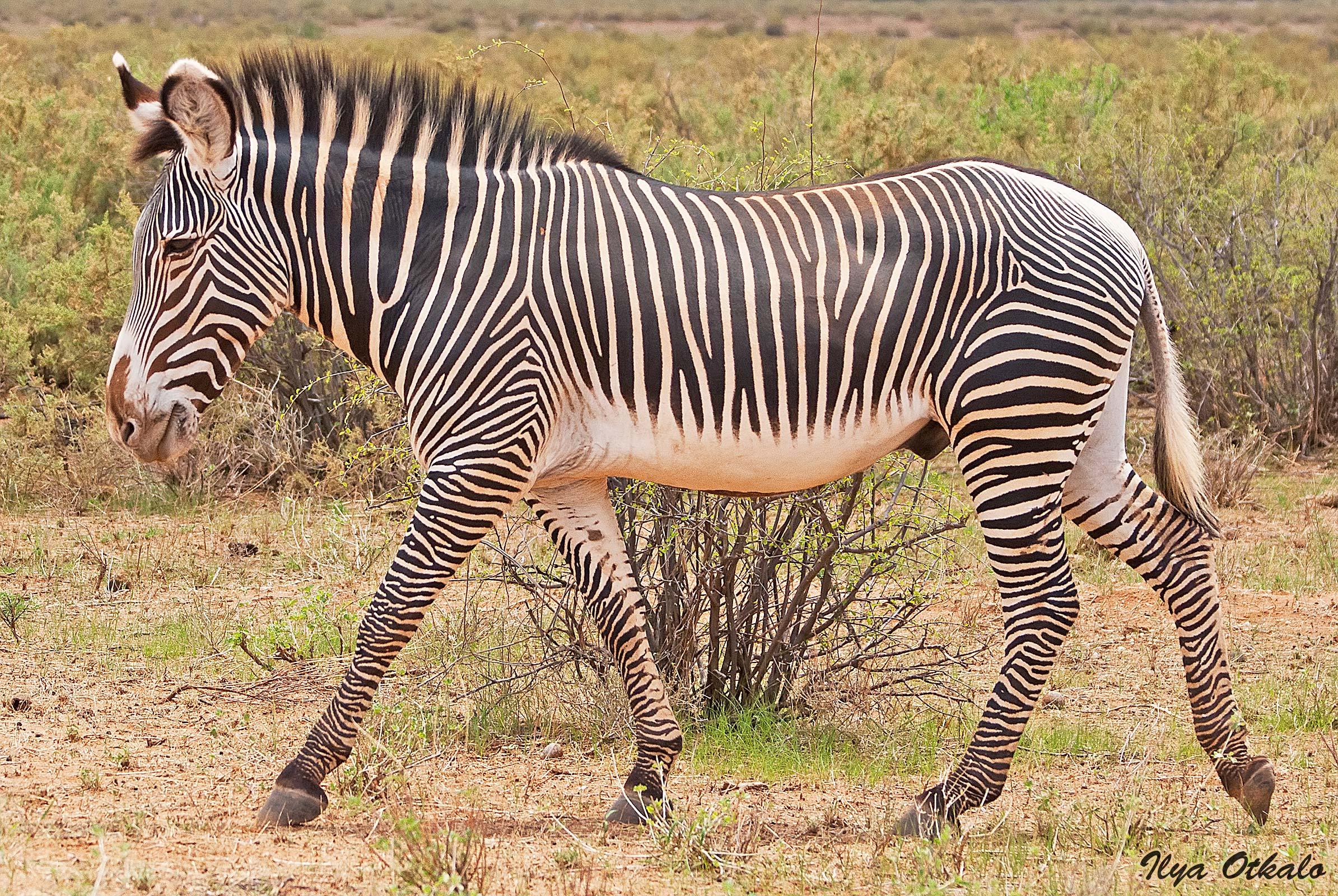 Кения, Национальный парк - заповедник Самбуру. Зебра Греви.
