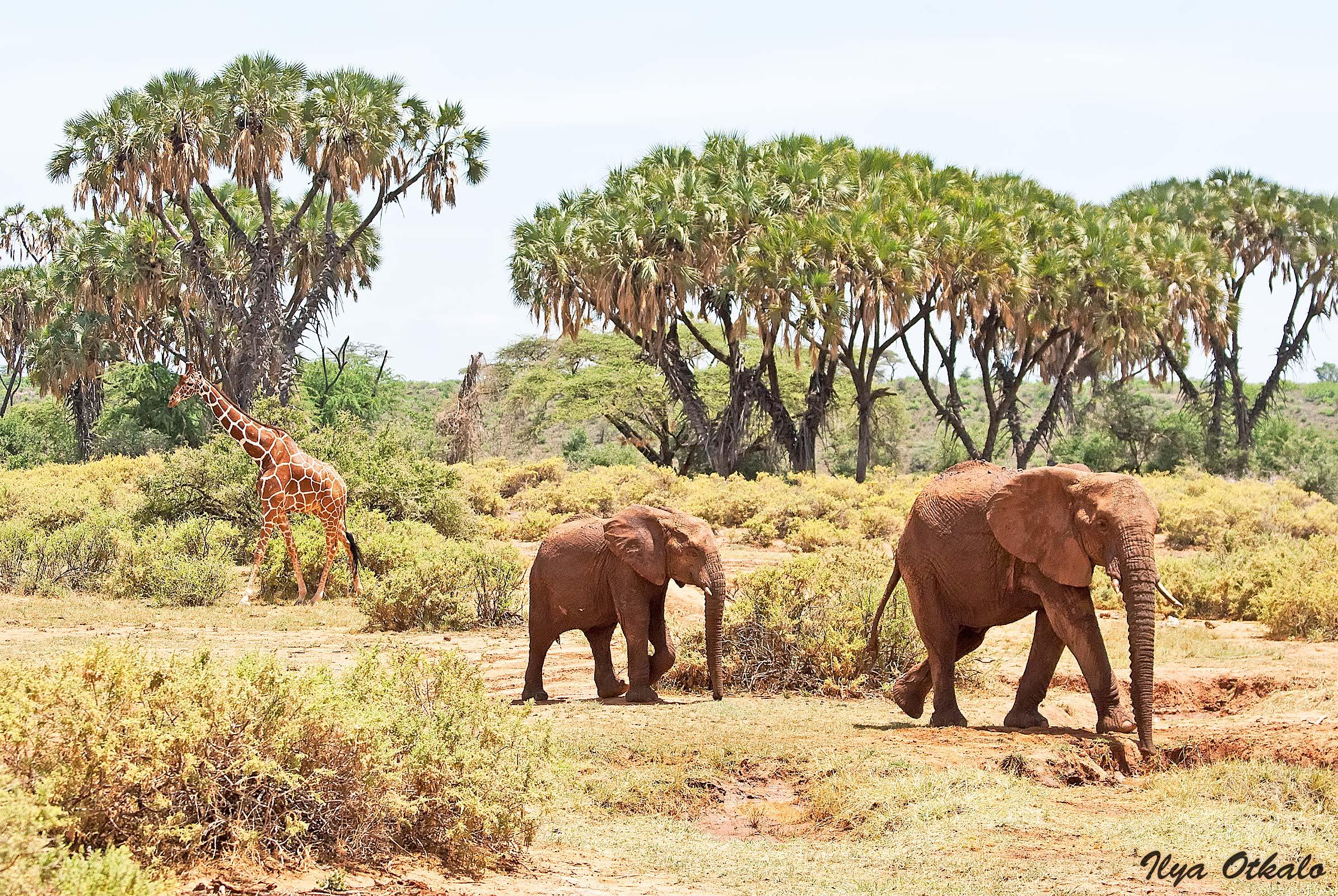 Кения, Национальный парк - заповедник Самбуру.