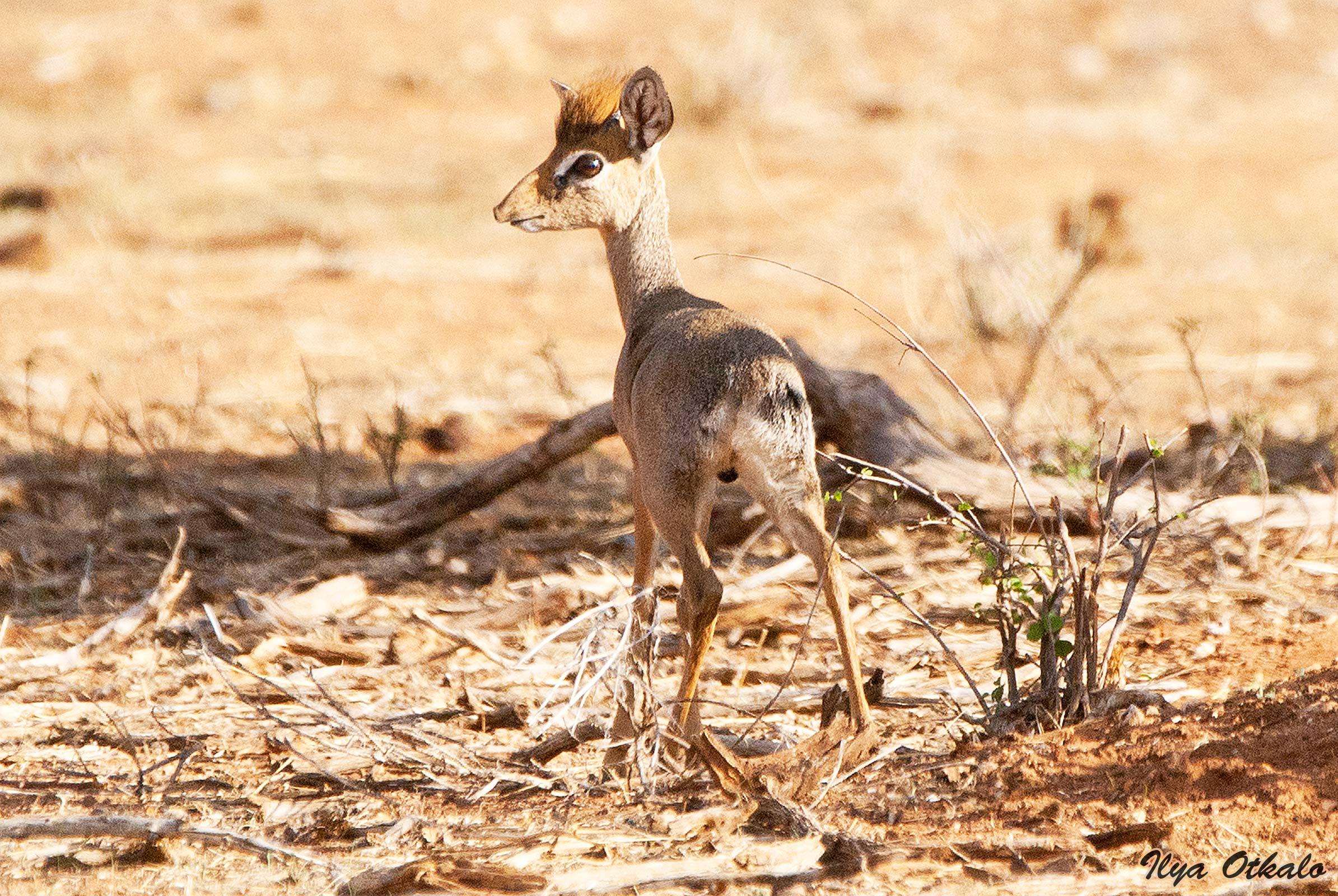 Кения, Национальный парк - заповедник Самбуру. Антилопа Дик-Дик.